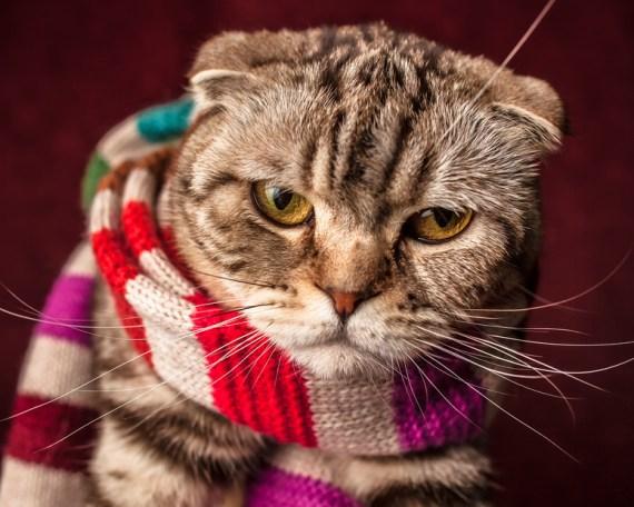 Cat in a Scarf