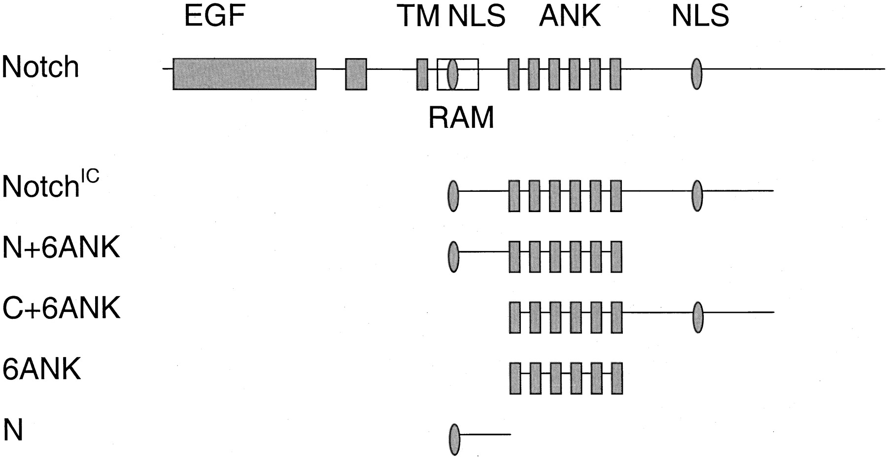 Human Notch 1 Inhibits Nf B Activity In The Nucleus Through A Direct Interaction Involving A