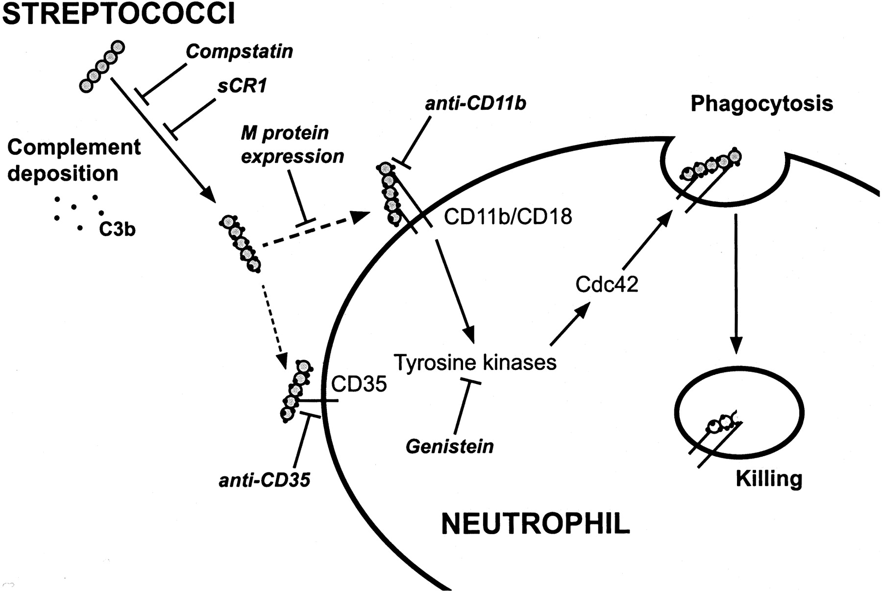 Streptococcal M5 Protein Prevents Neutrophil Phagocytosis