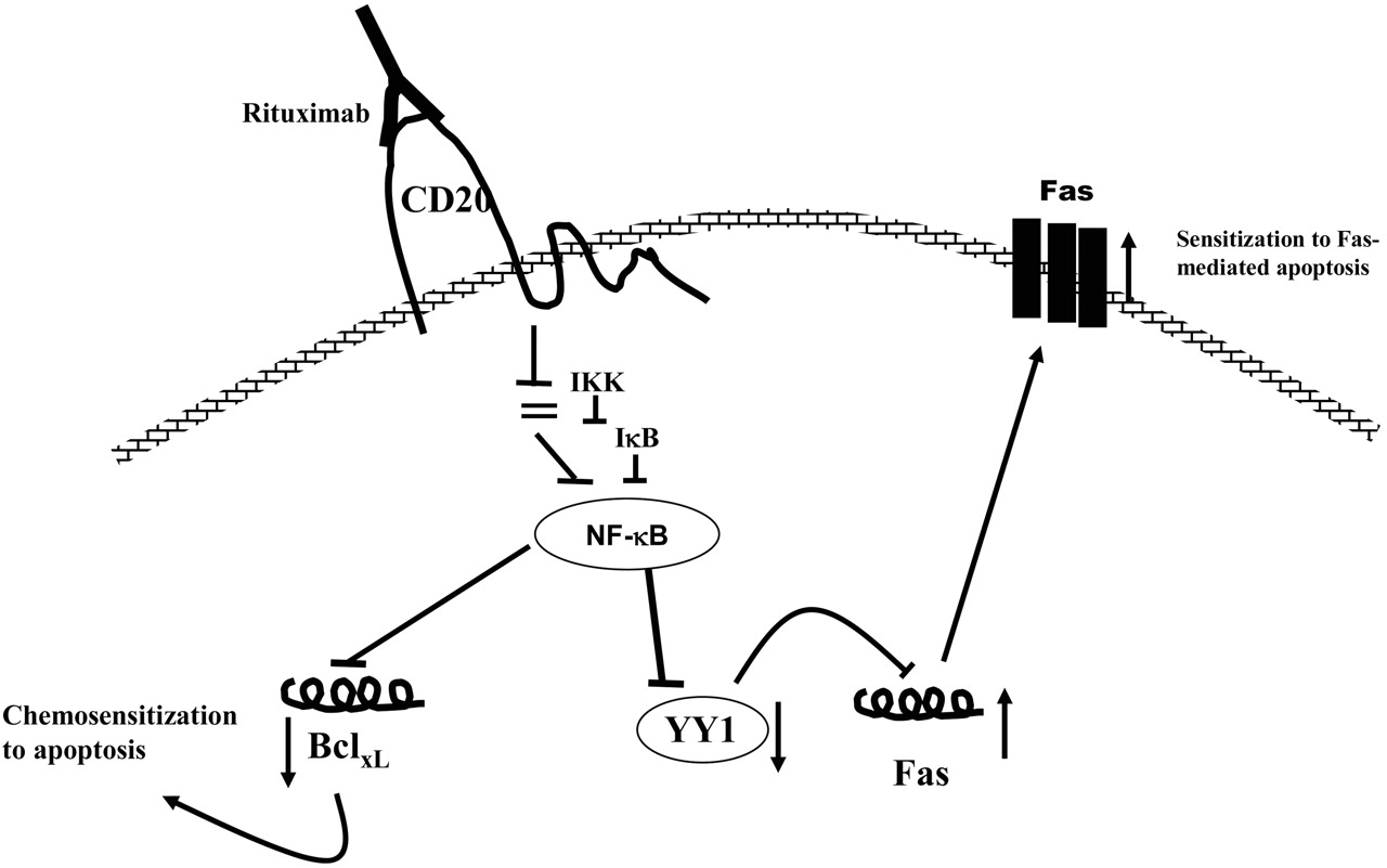 Rituximab Induced Inhibition Of Yy1 And Bcl Xl Expression