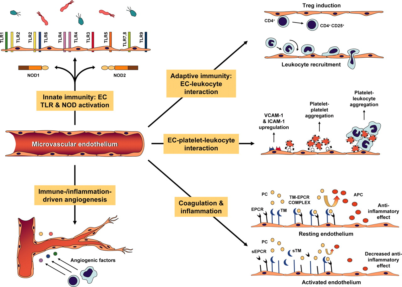 Immune Regulation By Microvascular Endothelial Cells