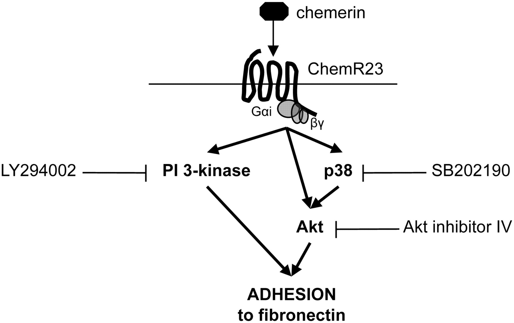Chemerin Contributes To Inflammation By Promoting