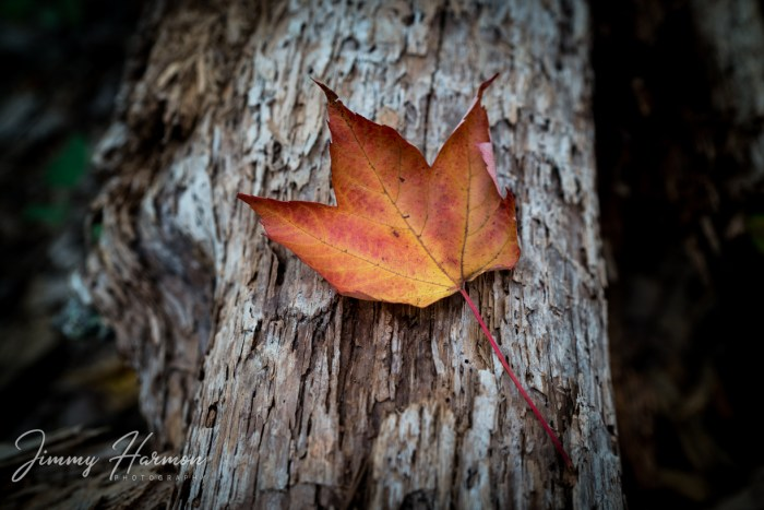 Autumn Leaf in Tennessee