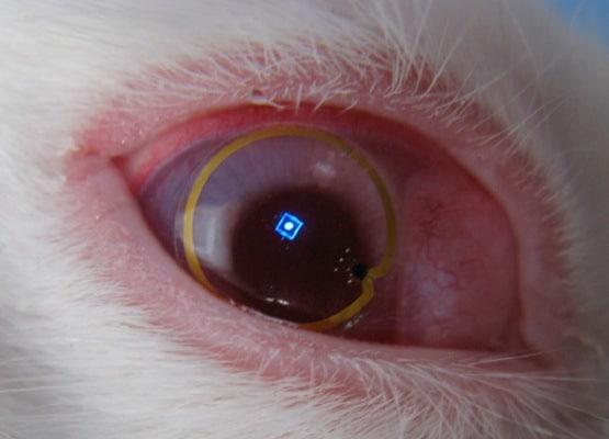 Terminator-Lens-in-rabbit-eye