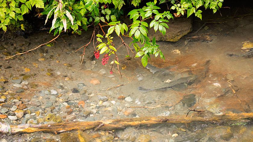 Salmon Spawning in Fish Creek