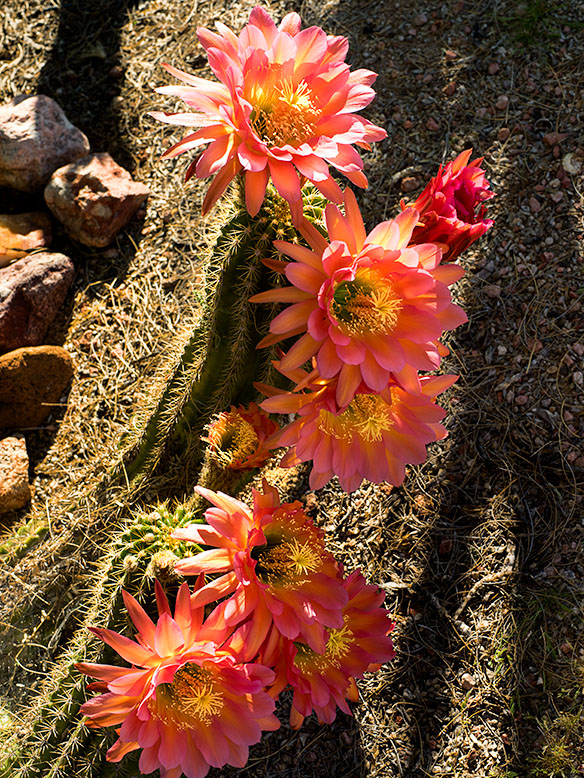 Coral Cactus Blossoms