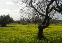 Louka plná kvetoucích rostlin leží pod kvetoucí mandloní v jihoportugalském Faro.