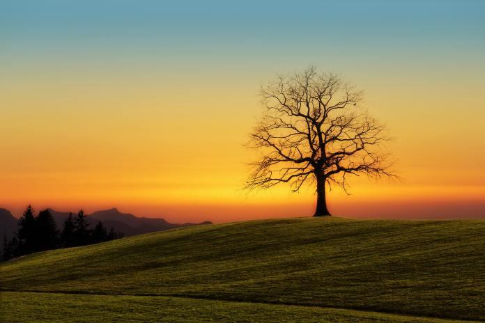 Samotný strom v zelených polích při západu.