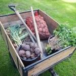 Zahrada, mrkev,, bio, permakultura, bez chemie, sklizeň
