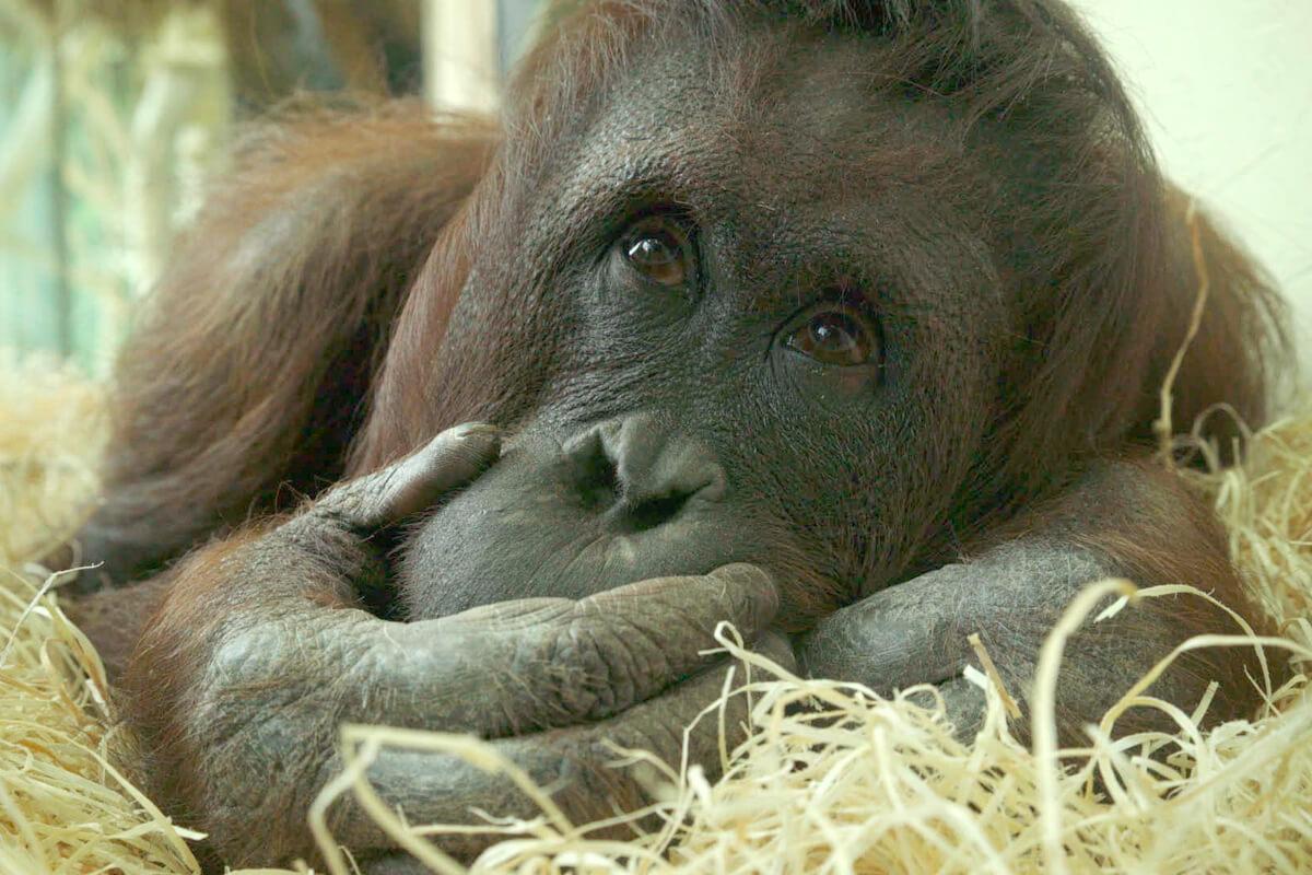 Vienna Zoo Orang Utan