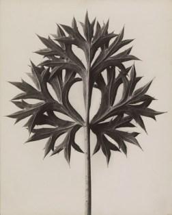 Karl Blossfeldt, Eryngium bourgatii. Mannstreu, 1900 - 1926, Stiftung Ann und Jürgen Wilde, Pinakothek der Moderne, München