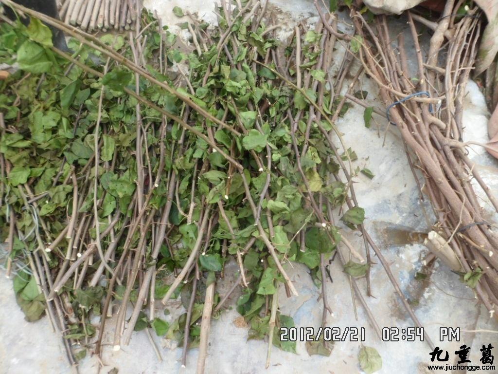 三角梅扦插繁殖方法