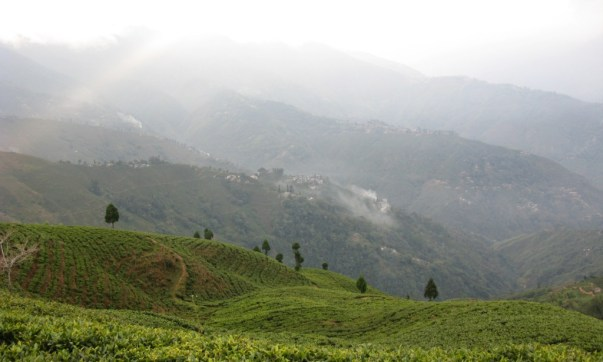 Tea Plantation in Darjeeling - India