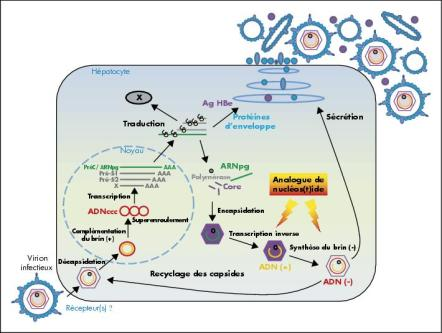John Libbey Eurotext - Hépato-Gastro & Oncologie Digestive - Mechanism  inderlying resistance to antiviral therapy in chronic hepatitis B