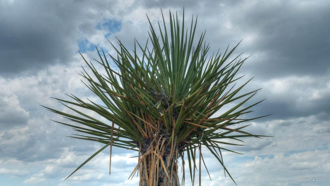 Copa de Yucca schidigera