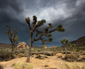 Sun lights up a Joshua Tree during a thunderstorm. Hall of Horrors in Joshua Tree National Park, California. www.JLongPhoto.com