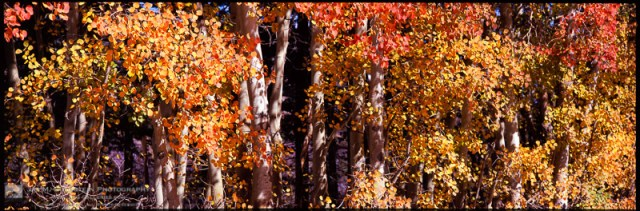 Aspen Tree Fall Color in the Eastern Sierras of California