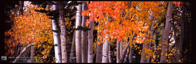 Brightly colored Aspen leaves cling to branches as Fall comes to an end in the Sierra Nevada mountains.