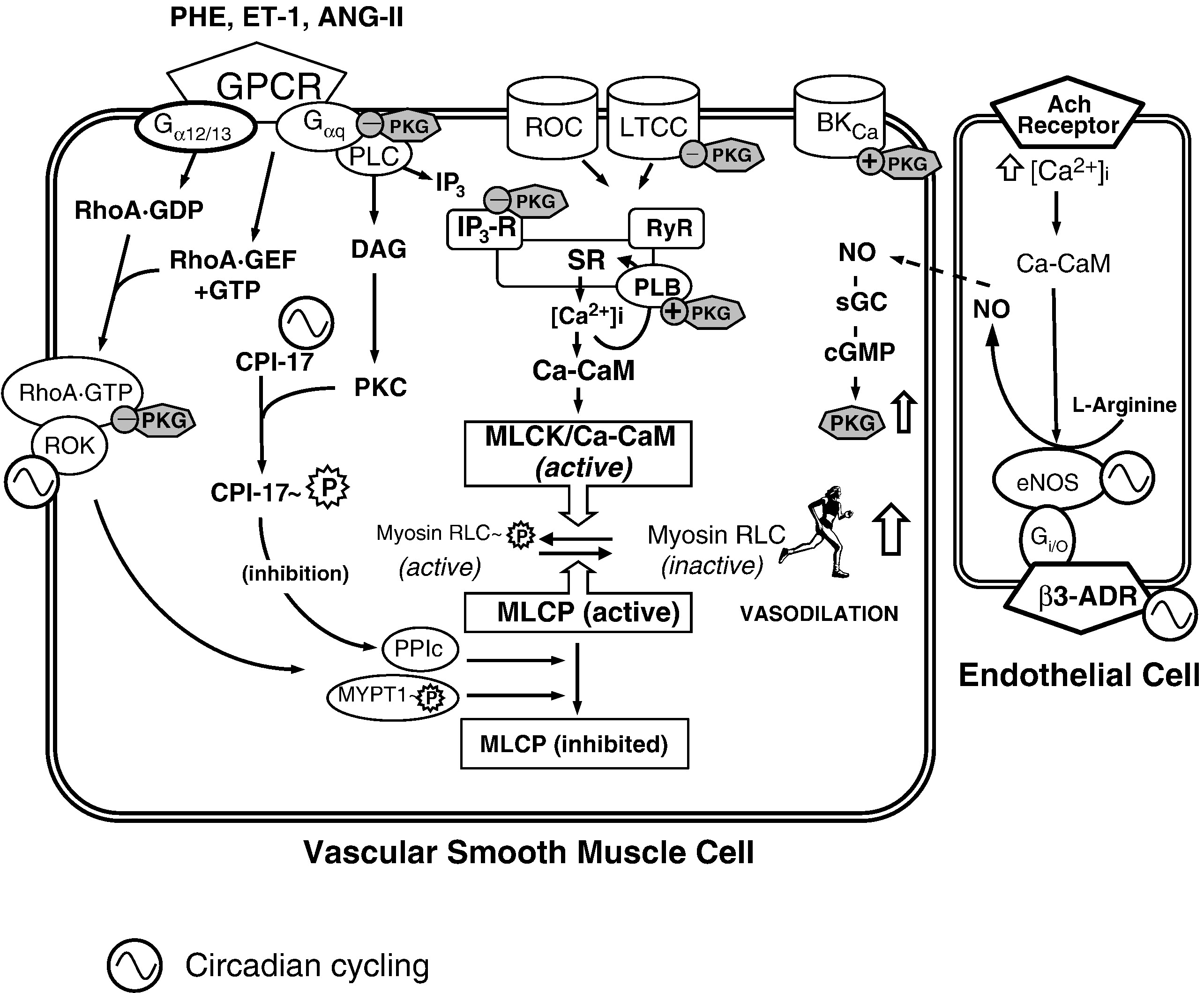 The Time Of Day Variation In Vascular Smooth Muscle