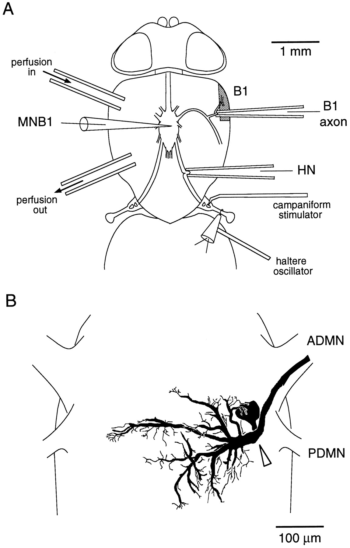 Motor Neuron Drawing