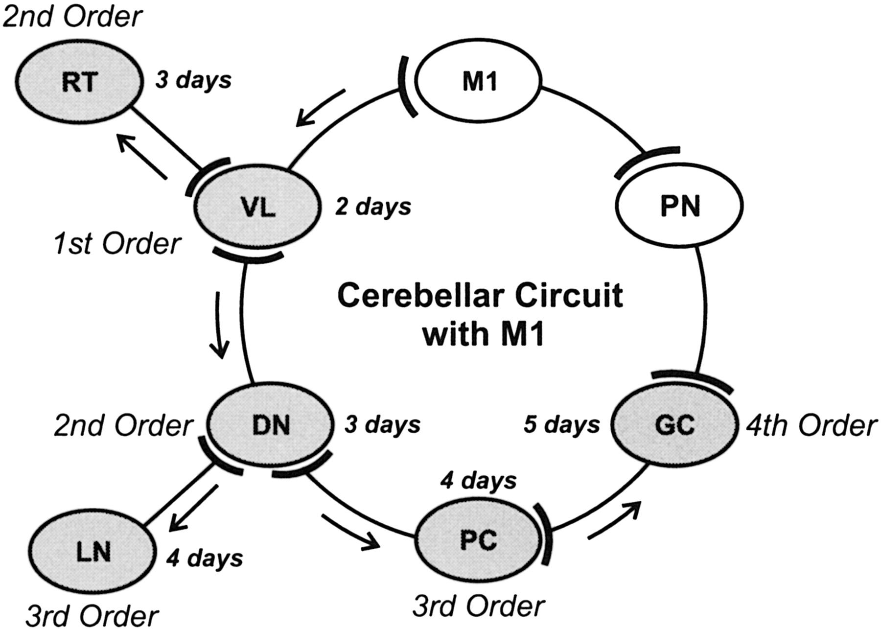 Cerebellar Loops With Motor Cortex And Prefrontal Cortex