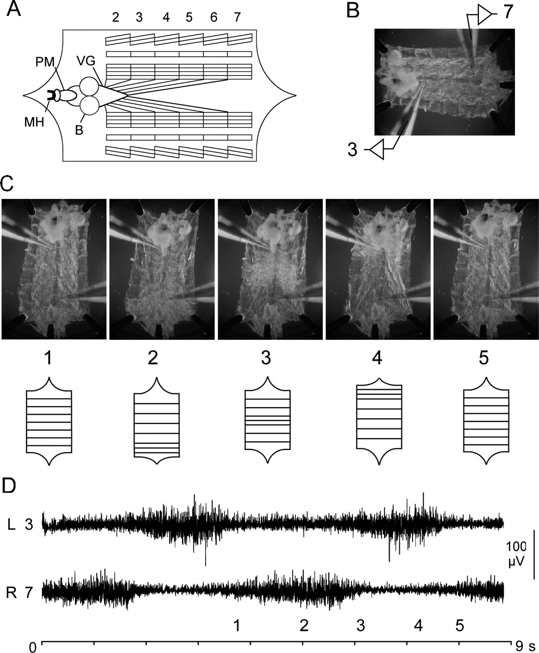 Coordination And Modulation Of Locomotion Pattern