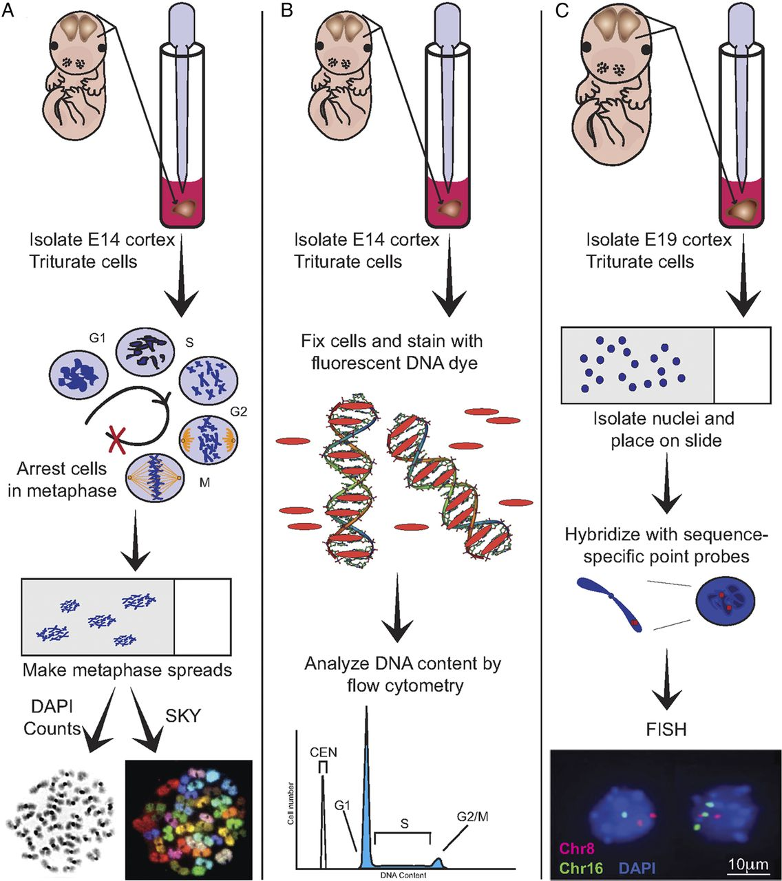 Aneuploid Cells Are Differentially Susceptible To Caspase Mediated During Embryonic