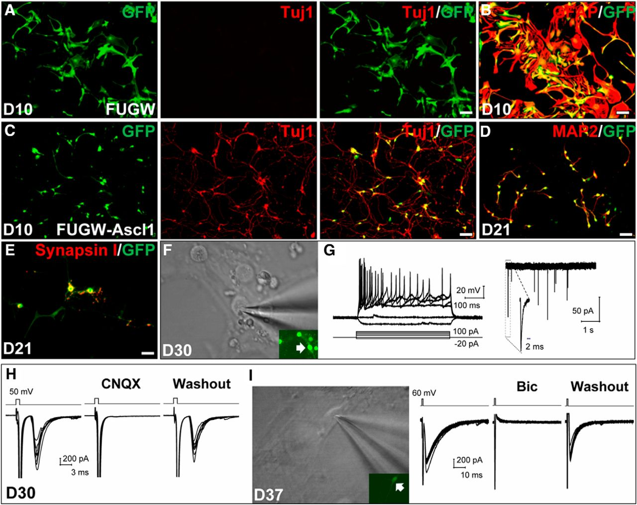 Ascl1 Converts Dorsal Midbrain Astrocytes Into Functional Neurons In Vivo