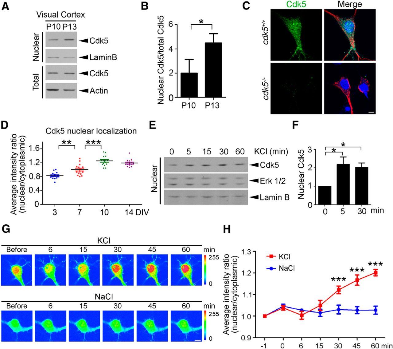 Cdk5 Regulates Activity Dependent Gene Expression And Dendrite Development