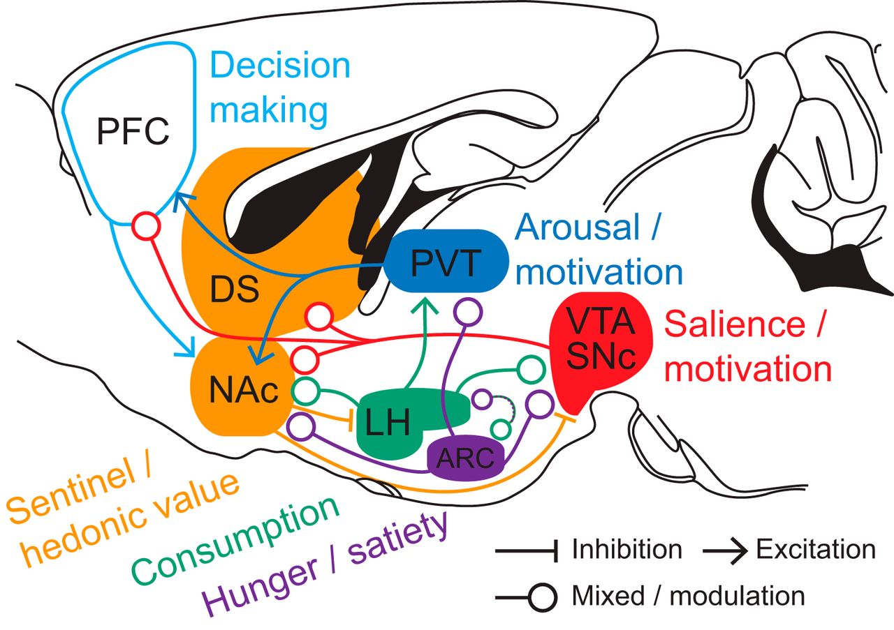 Homeostasis Meets Motivation In The Battle To Control Food