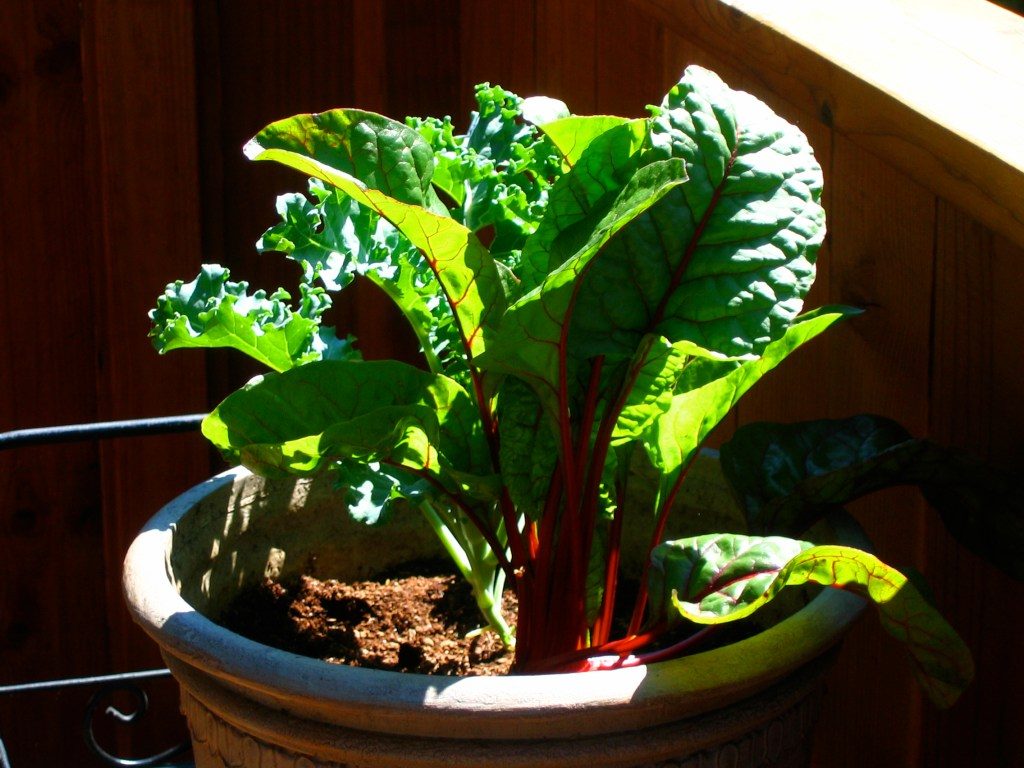 Growing Chard on The Patio