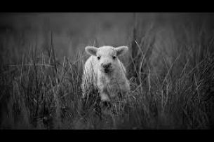 Lost sheep 8