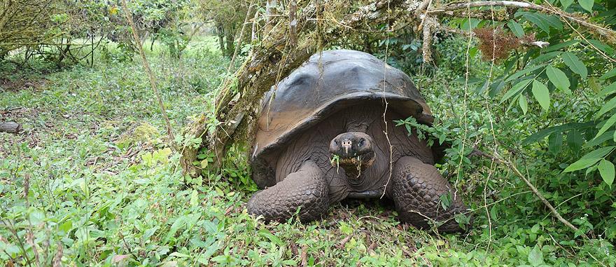 Tartarugas gigantes na Ilha de Santa Cruz Galápagos