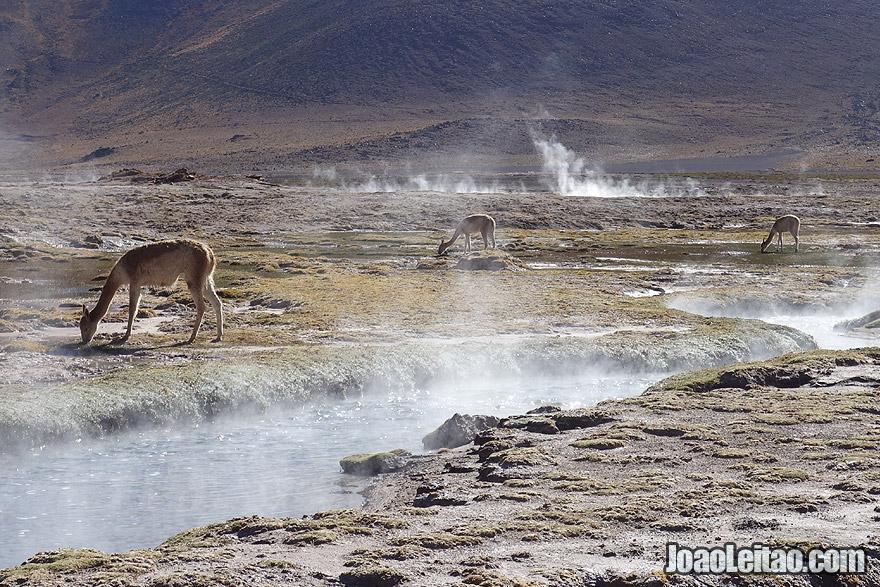 Guanacos in Geyser El Tatio in Atacama Desert Chile