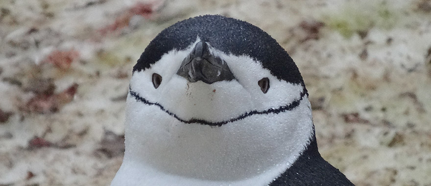 Close-up of the head of a Chinstrap Penguin