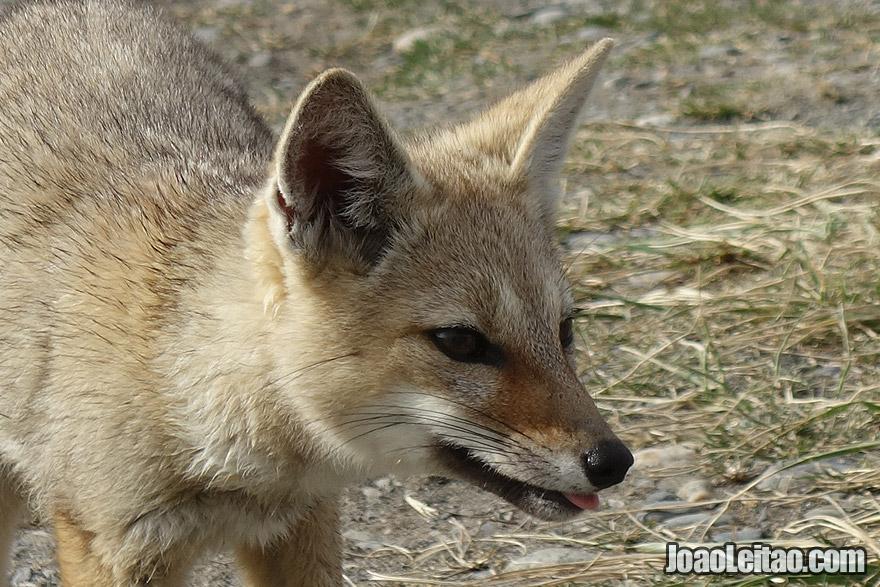 Fox in Tierra del Fuego Chile