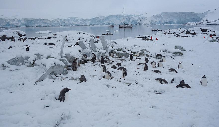 Gentoo penguin colony in Jougla Point