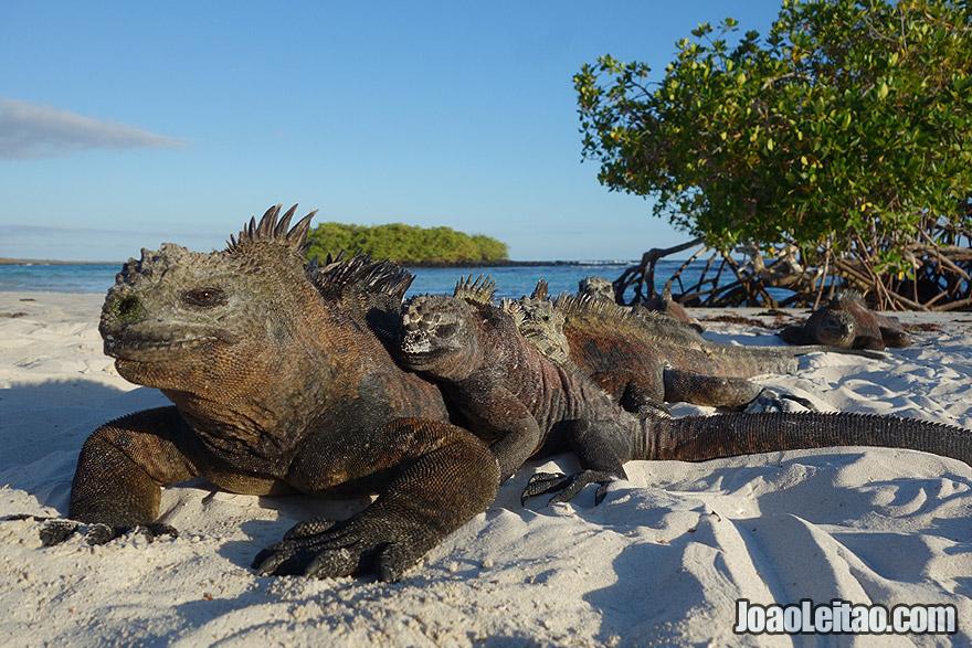 Iguana family in Galapagos Islands, Ecuador