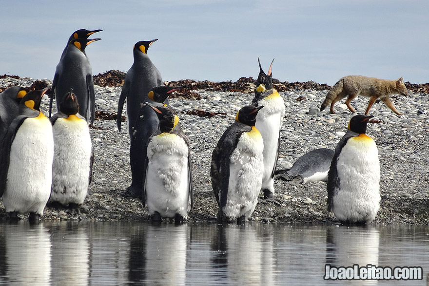 Fox trying to hunt a King Penguin in Tierra del Fuego Chile