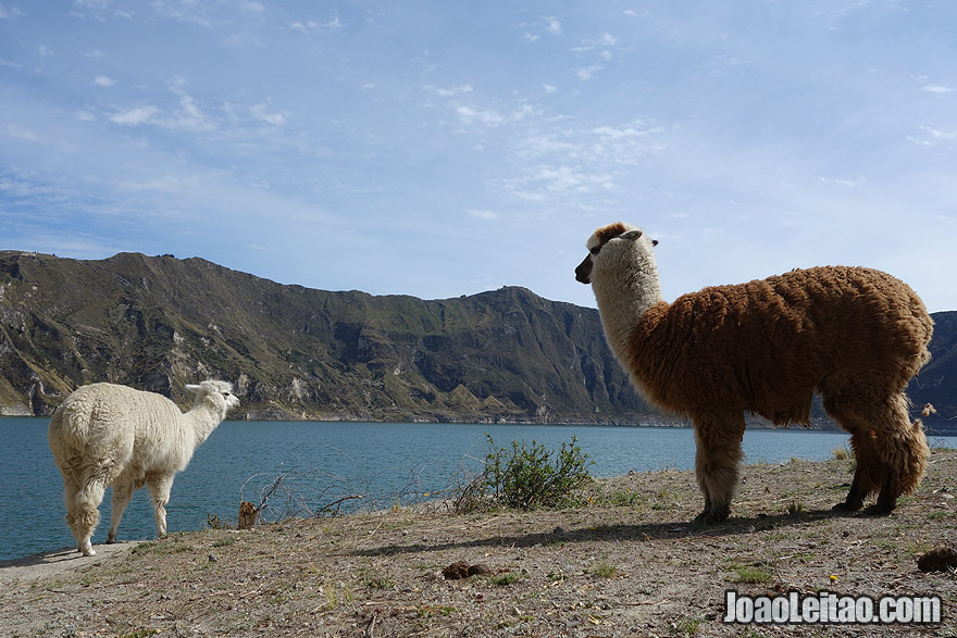 Baby and Mother Lama in Quilotoa crater lake Ecuador