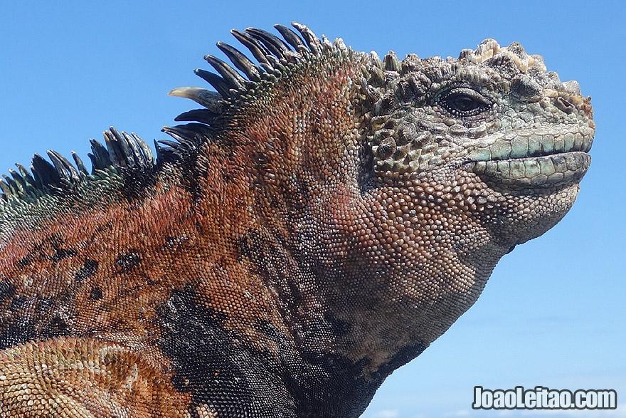 Marine Iguana face detail in Galapagos Ecuador
