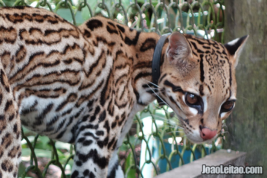 Wounded Ocelot being treated in Animal Sanctuary in Peru