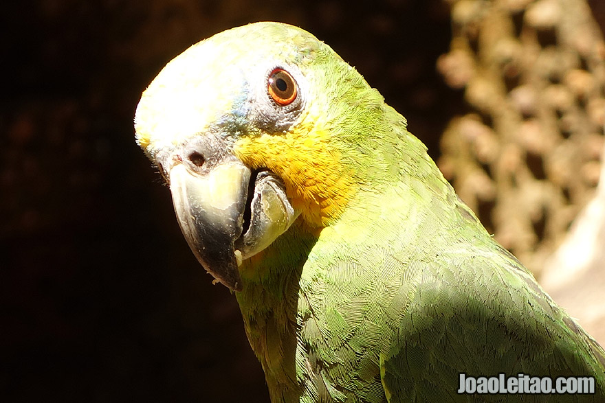 Orange Winged Amazon Parrot in Brazil