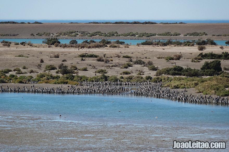 Penguin Colony in Valdes Peninsula Argentina
