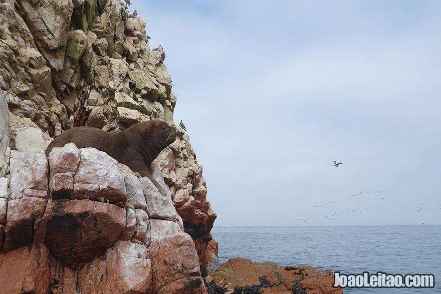 Sea Lion in Ballestas Islands Peru