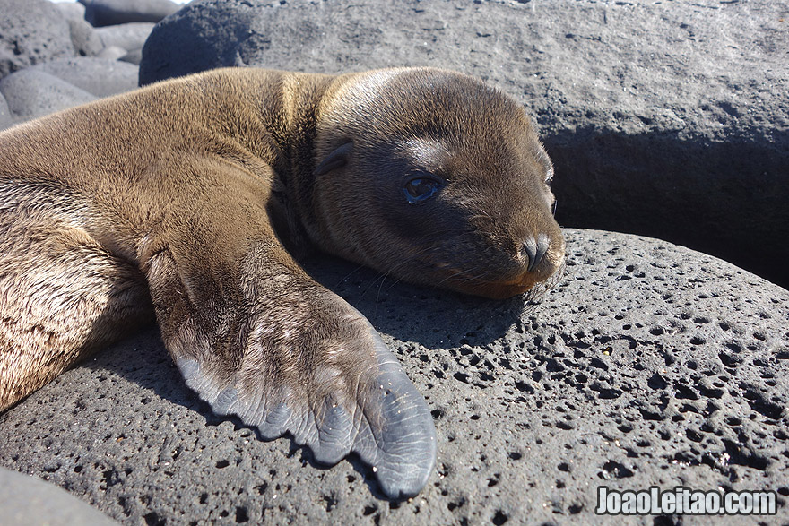 SO Cute little Baby Sea Lion in Galapagos