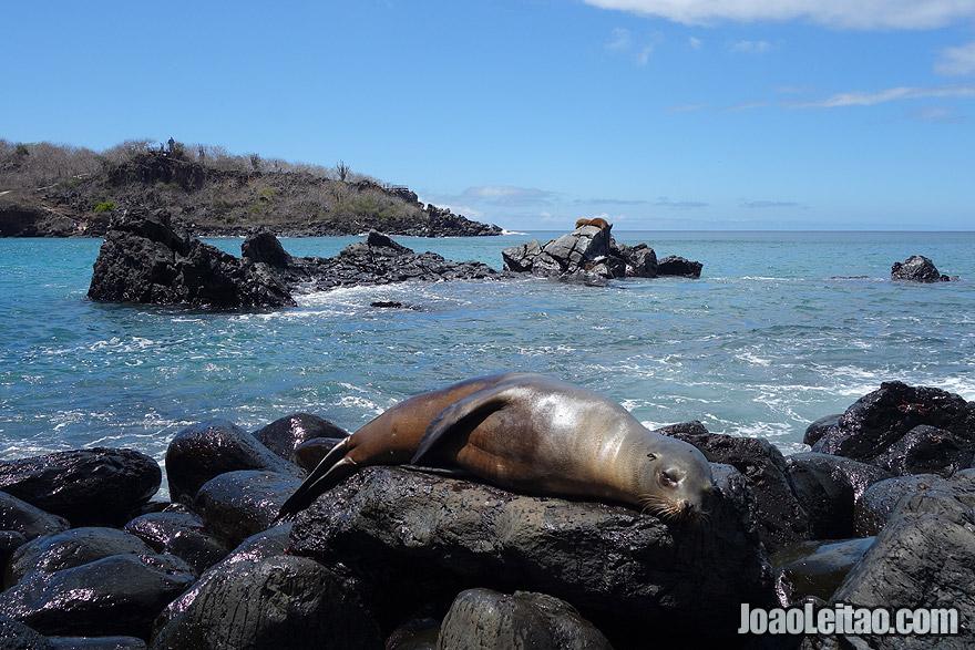 Sea Lion sleeping in Galapagos Wildlife