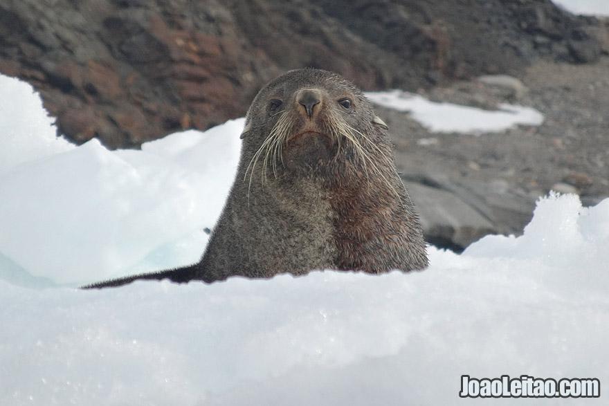 Seal looking curious in Antarctica