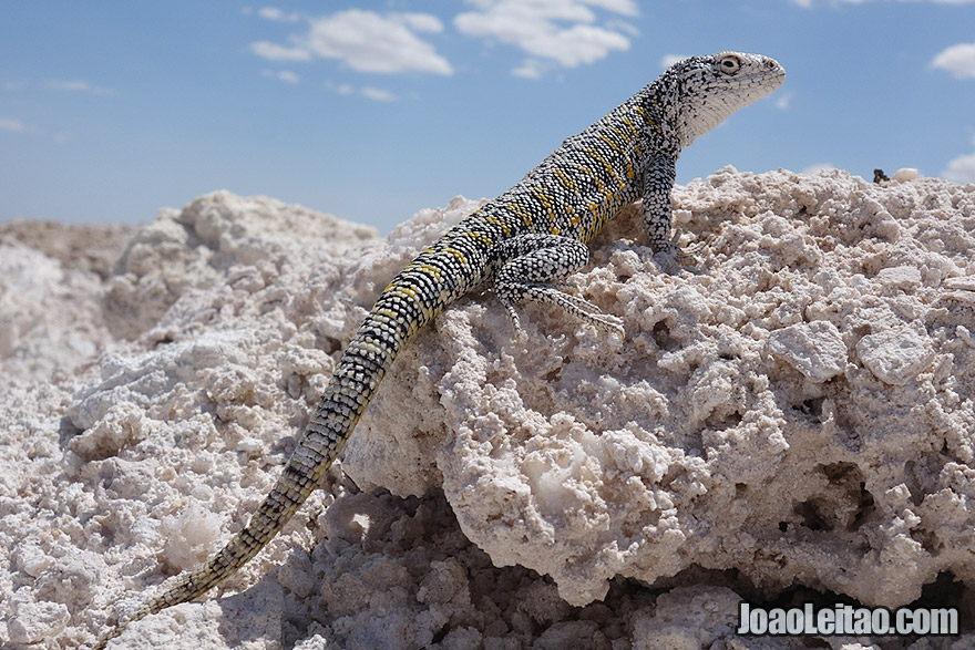 White Salt Flat Lizard in Atacama Desert Chile