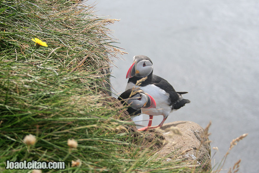 Very close contact with puffins in Latrabjarg